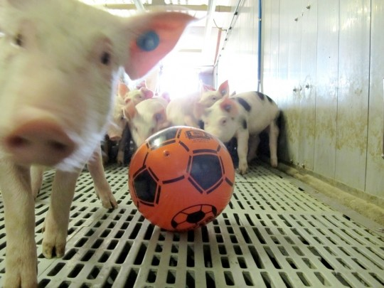 Photo of a football in a pig pen, taken during a project Buta field study